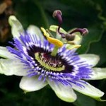 Passion Flower is a Miracle Herb for Pain and Anxiety